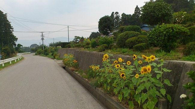 8.15小友ー3ー早朝のひまわり1.jpg